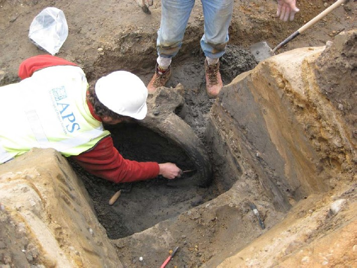 Ice Age Bison Skull being excavated 2of2